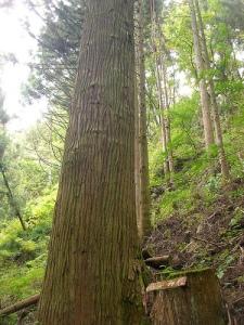 Ohgiyama Trek(Yamanashi) 水呑み杉(扇山トレッキング, 山梨)